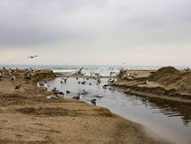 Seagulls on Santa Monica Beach - Overcast Day Royalty Free Stock Images