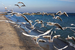 Seagulls and the sea. Seagulls pursue the photographer going on seacoast, in hope to receive a bread slice Stock Image