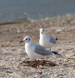 Seagulls on sea beach Royalty Free Stock Photo