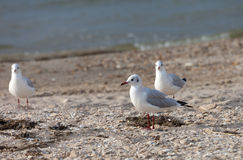 Seagulls on sea beach Royalty Free Stock Photos