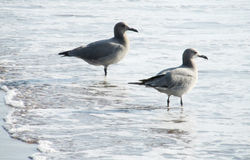 Seagulls on sea beach in waves Stock Photography