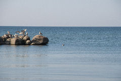 Seagulls in the sea. Birds seagulls on rocks in sea Royalty Free Stock Images