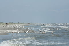 Seagulls by the sea. Seagulls at the Black Sea, at Saint Gheorghe Royalty Free Stock Photo