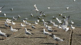 Seagulls in the sea coast stock video