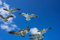 Seagulls sea gulls flying on blue sky. Seagulls sea gulls group flying on blue sky in Caribbean sea Stock Image