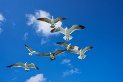 Seagulls sea gulls flying on blue sky. Seagulls sea gulls group flying on blue sky in Caribbean sea Stock Photography