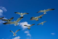 Seagulls sea gulls flying on blue sky. Seagulls sea gulls group flying on blue sky in Caribbean sea Royalty Free Stock Photos