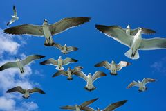 Seagulls sea gulls flying on blue sky. Seagulls sea gulls group flying on blue sky in Caribbean sea Royalty Free Stock Images