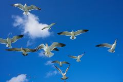 Seagulls sea gulls flying on blue sky. Seagulls sea gulls group flying on blue sky in Caribbean sea Royalty Free Stock Image