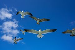 Seagulls sea gulls flying on blue sky. Seagulls sea gulls group flying on blue sky in Caribbean sea Stock Images