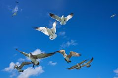 Seagulls sea gulls flying on blue sky. Seagulls sea gulls group flying on blue sky in Caribbean sea Royalty Free Stock Photo