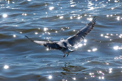 Seagulls and sea star reflaction Royalty Free Stock Image