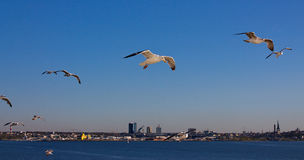 Seagulls. Seagull in flight over the sea Stock Image