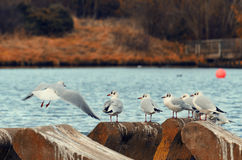 Seagulls. Seagull white close-up waterscape beach countryside lake ruralday nature blue water autum nature garden park Stock Images