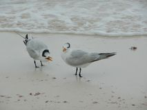 Seagulls on the seashore in Tulum, Mexico. Two seagulls on the seashore in Tulum, Mexico royalty free stock photography
