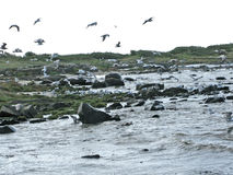 Seagulls and seaweed Royalty Free Stock Image