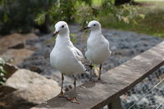 Seagulls - seeing double... Stock Images