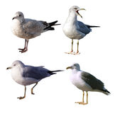 Seagulls Set Stock Photos