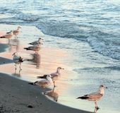 Seagulls. The setting sun casts a pink glow on the water and seagulls on the shore stock photo