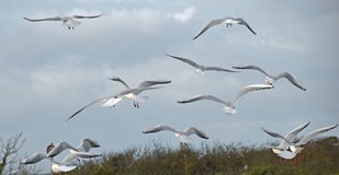 Seagulls. Several seagulls in flight on a stormy day Stock Photography