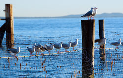 Seagulls on shark nets. Flock of seagulls standing on shark nets protecting the swimmers area, on the Australian coast royalty free stock photography