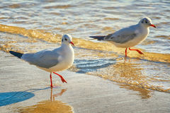 Seagulls on the Shore Royalty Free Stock Photography
