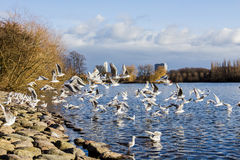 Seagulls on the Shore. Seagulls Flying on the shore of the lake in a park in Malmo, Sweden Stock Photos