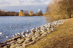 Seagulls on the Shore. Of the lake in a park in Malmo, Sweden Stock Images
