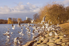 Seagulls on the Shore. Of the lake in a park in Malmo, Sweden Stock Photo