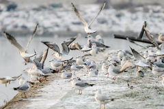 Seagulls on shore Royalty Free Stock Image