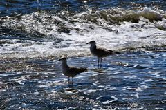 Seagulls on the shore of the Tagus River royalty free stock photos