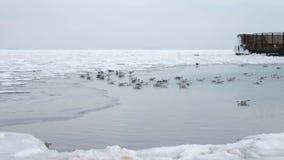 Seagulls siedzi na zalodzonym morzu zbiory