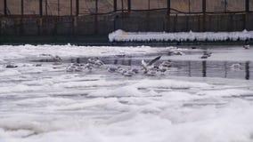 Seagulls siedzi na zamarzniętym zalodzonym morzu zbiory wideo