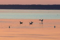Seagulls silhouettes floating on rippling water surface. Typical birds of lake area royalty free stock photos