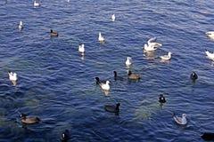 Seagulls simmar längs kusten längs havet på stadsinvallningen arkivbild