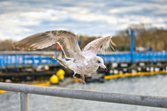 Seagulls. Single seagul close up at day time Royalty Free Stock Photography