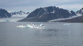 Seagulls sit and float on an iceberg in Arctic. stock video footage