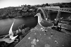 Seagulls sits on the background of Douro river and Dom Luis I Bridge, Porto, Portugal. Stock Photos