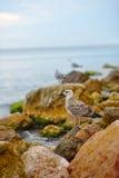 Seagulls sitter på de steniga utlöparna av kustlinjen Arkivbild