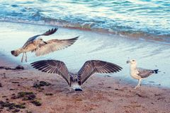 Seagulls on the beach by the sea Royalty Free Stock Photo