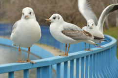 Seagulls sitting on the fence Stock Photography