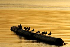 Seagulls sitting on a floating pipes early in the morning Royalty Free Stock Photo