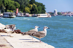 Seagulls sitting on a harbour in Venice, Italy Stock Photo