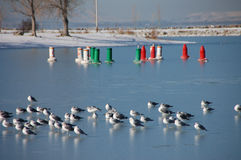 Seagulls sitting on ice. Seagulls sitting on the icy lake with colored bouys in the  distance Stock Images