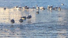 Seagulls sitting on ice stock video
