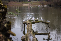 Seagulls sitting on an old tree felled in the water. Stock Photos
