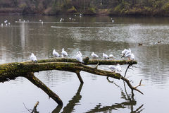 Seagulls sitting on an old tree felled in the water. Stock Images