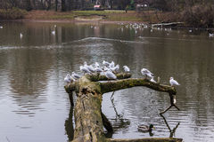 Seagulls sitting on an old tree felled in the water. Royalty Free Stock Photo