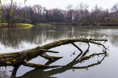 Seagulls sitting on an old tree felled in the water. Stock Photography