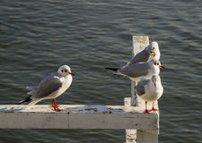 Seagulls sitting on the pier Stock Image